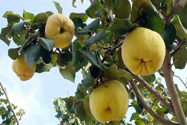 آغاز برداشت میوه «به» از باغهای نهاوند
