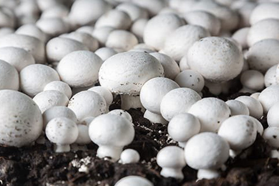 پرورش دهندگان قارچ در لرستان تسهیلات کمبهره دریافت میکنند