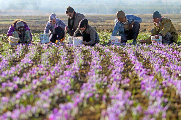 برداشت محصول زعفران از مزارع کشاورزی همدان