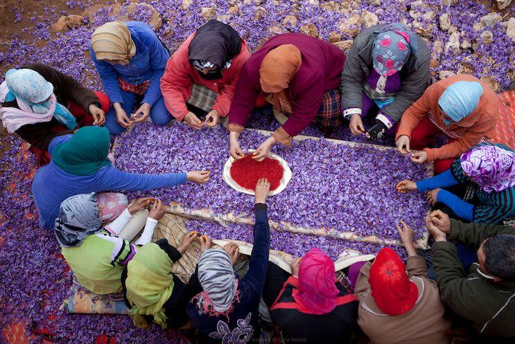 شرکتهای قلابی بلای جان تولید زعفران در همدان/ طلای سرخی که بر باد می رود