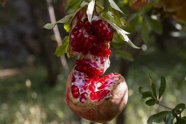 صادرات محصولات فرآوری انار به بازار های جهانی/ خرید هفت هزار تن انار از باغداران ساوجی