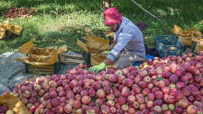 ۱۰۰۰ تن سیب ارسباران خریدار ندارد