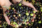 صادرات زیتون از گیلان ۳۴ درصد رشد یافت