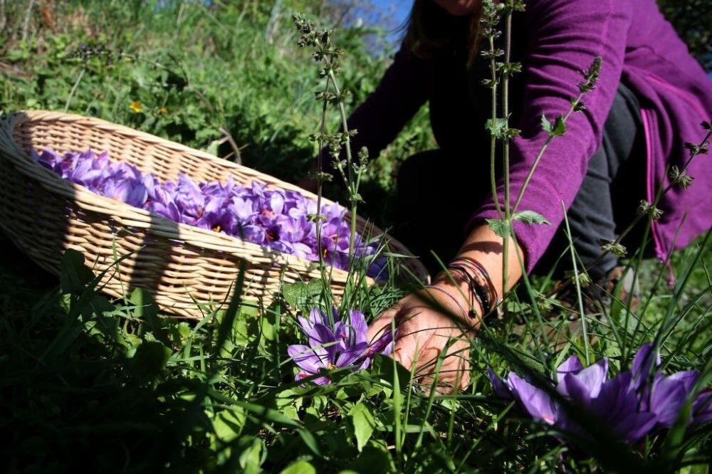 سطح کشت زعفران به ۱۳ هکتار افزایش یافت/ نصب ۱۱ دستگاه ضد تگرگ و سرما در باغات اهر