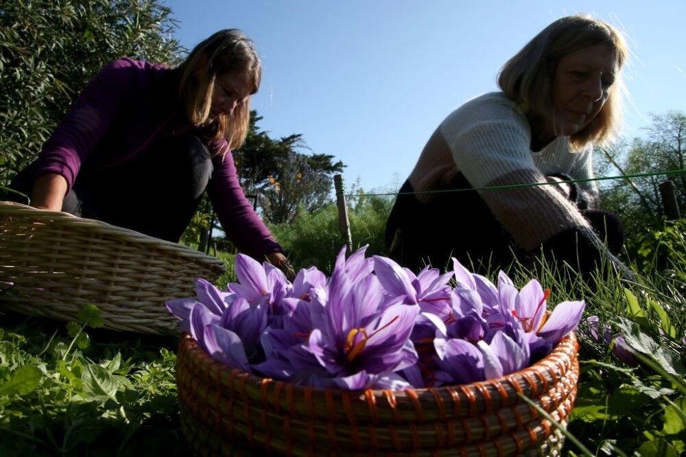 برداشت زعفران از مزارع کشاورزی بهار