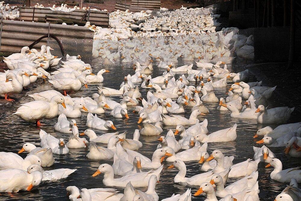 ضرورت توسعه مزرعه اردک در شالیزارهای گیلان