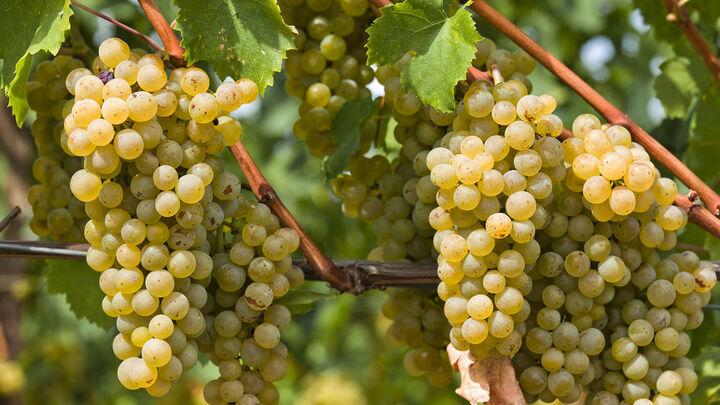 ایران؛ یازدهمین تولیدکننده جهانی انگور و سومین صادرکننده کشمش| بازاری به ارزش ۲۵۴میلیارد دلار پیش روی تولیدکنندگان جهانی انگور