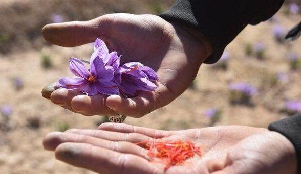 کشت زعفران در رزن به ۲۸ هکتار افزایش یافت| فرآوری همچنان به روش سنتی