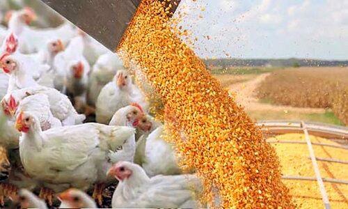 واحدهای دامی قزوین ماهانه ۶۰ هزار تن نهاده مصرف میکنند