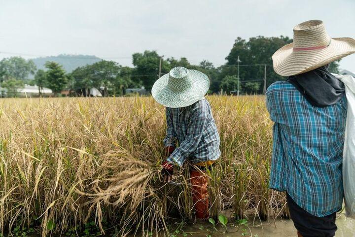 برنج تایلند 2