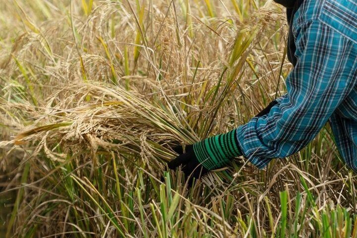 برنج تایلند 3