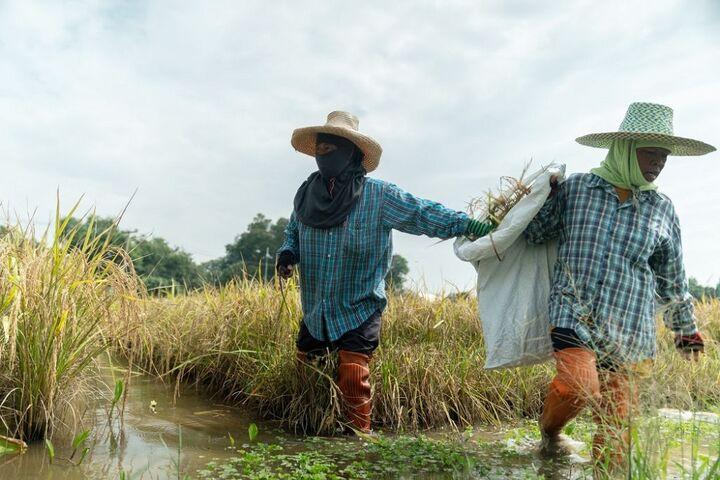 برنج تایلند 7