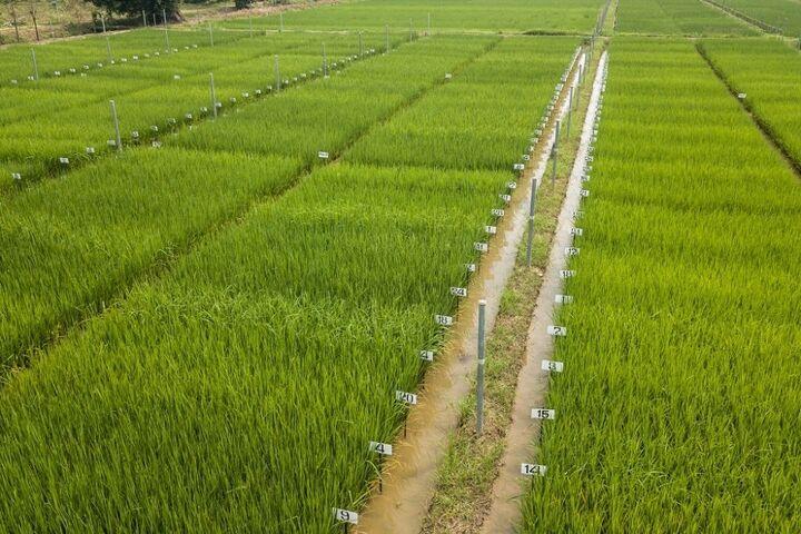 برنج تایلند 9