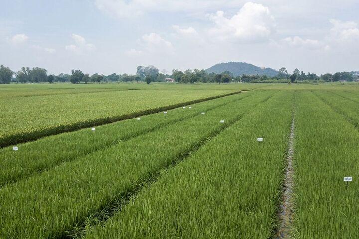 برنج تایلند 14