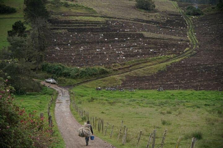 سیب زمینی کلمبیا 7