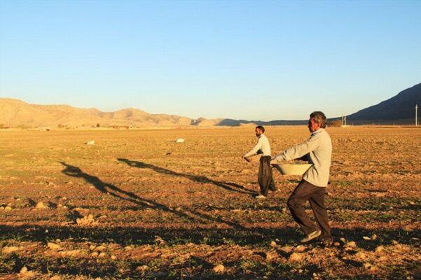 کشت گندم در اراضی کشاورزی قزوین ۵درصد افزایش یافت