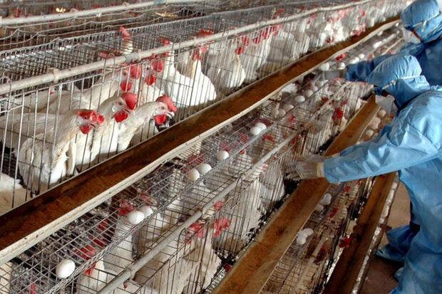 نخستین بذر بومی واکسن آنفلوانزای فوق حاد پرندگان رونمایی شد