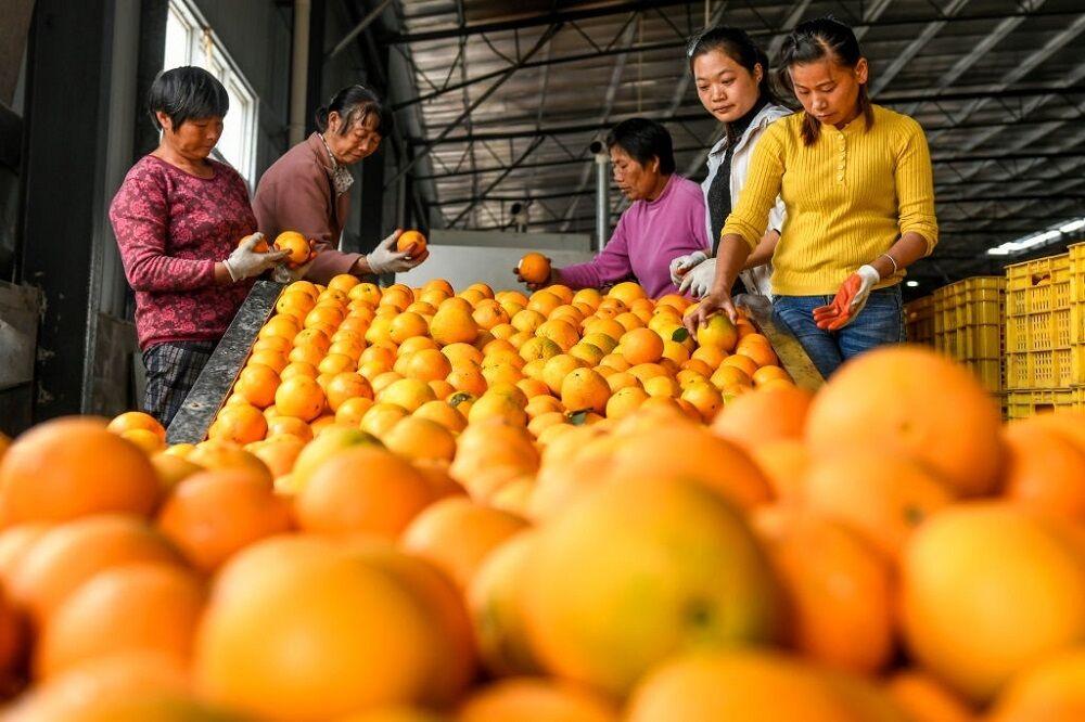 قیمت ۱۲ هزار تومانی هر کیلوگرم پرتقال در باغات مازندران