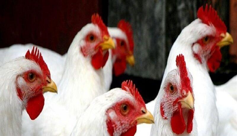 پرورش مرغ آرین در آذربایجان شرقی ۷ متقاضی دارد