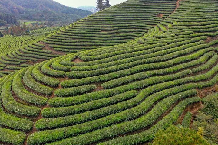 کاشت چای 6