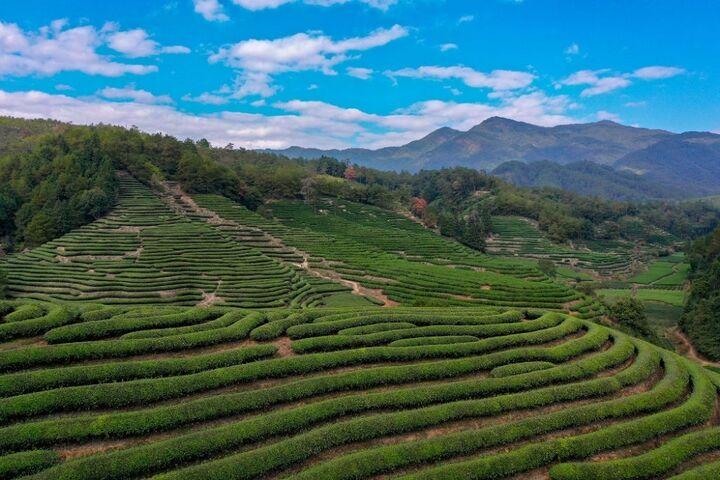 کاشت چای 7