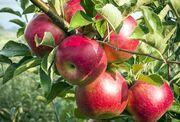 زمینه صادرات ۸۰۰ هزار تن سیب آذربایجان غربی فراهم شود