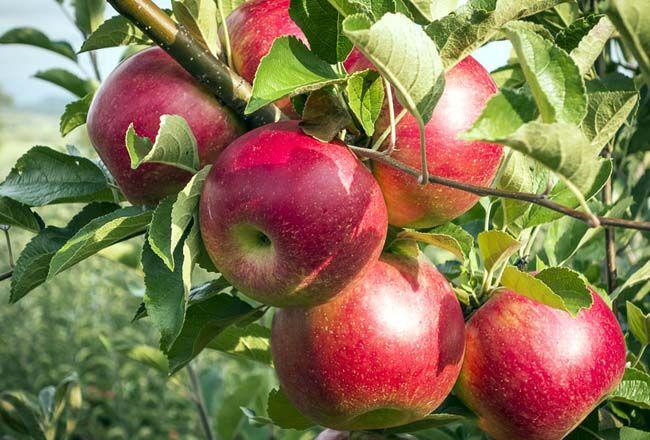 توقف صادرات سیب سمیرم/ مردم انتظار روشنگری در مسائل اقتصادی را دارند