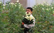 یک چهارم گلخانه های تولید گل خراسان رضوی ورشکست شدند