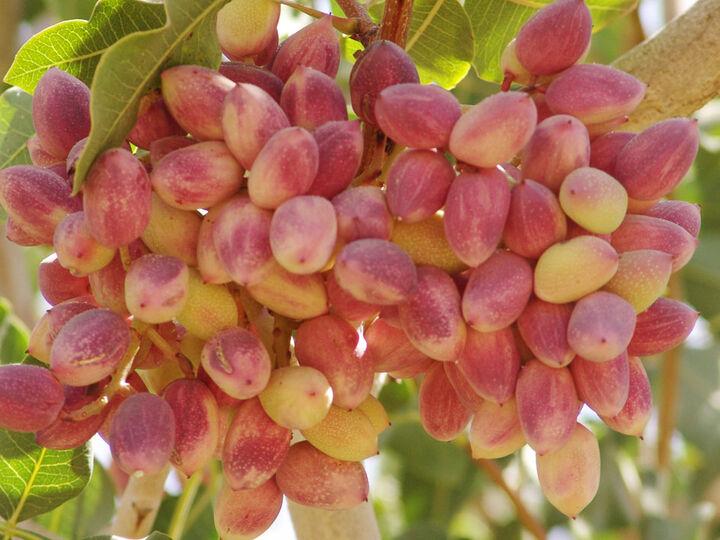 تولید بیش از ۱۱.۵ میلیون تن میوه های سردسیری و خشک در سال ۹۹