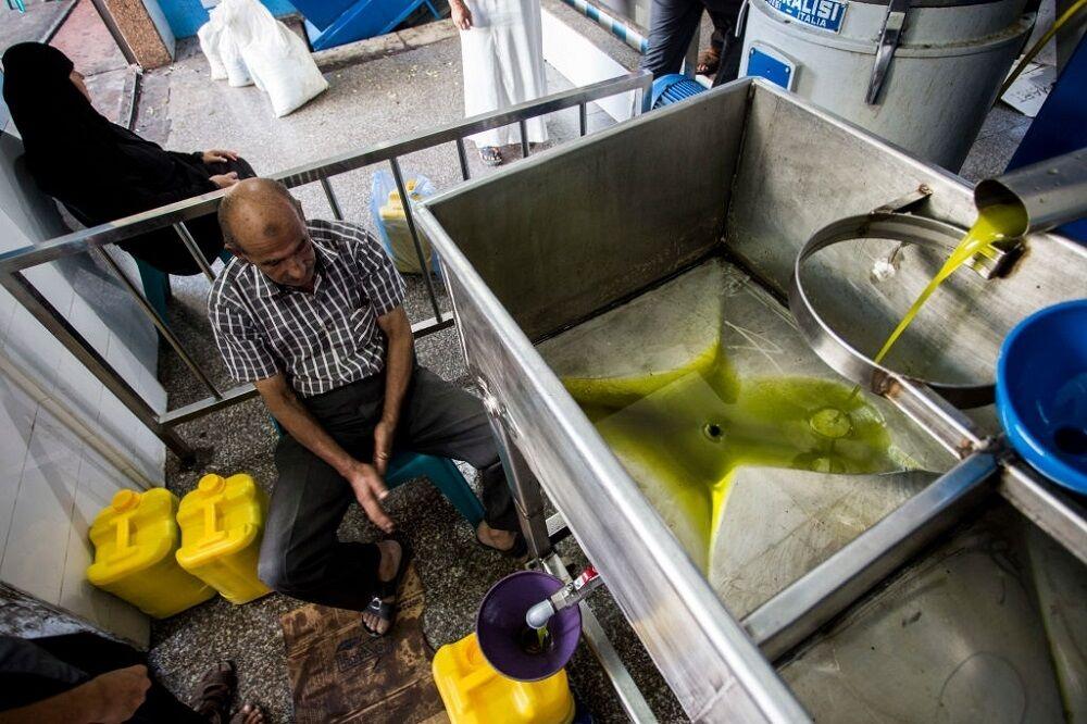 روغنهای تقلبی به بازار زیتون لطمه میزند/ راه اندازی اولین کارگاه روغن کشی در مازندران