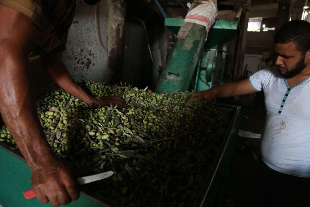 تولید یک هزار و ۵۲۰ تن روغن زیتون در گیلان