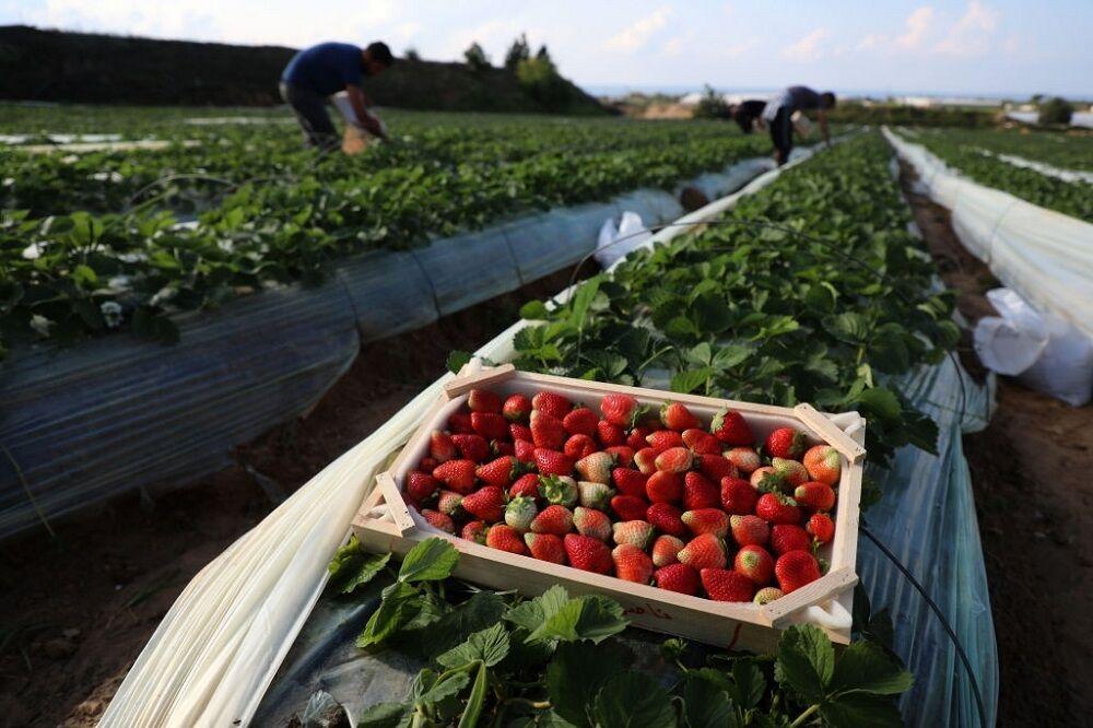 نوبرانههای توت فرنگی در بازار؛ رنجهای بیشمار باغداران