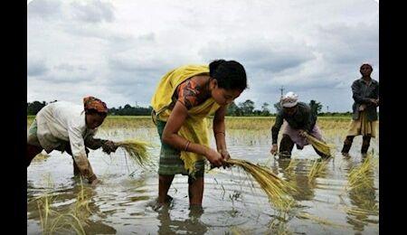 چین پس از ۳ دهه خریدار برنج هند شد