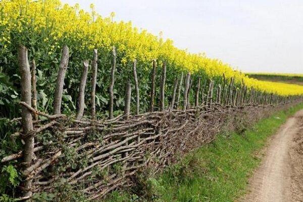 واردات مواد اولیه تولید کلزا را بی رونق کرد؛ کشاورزان بیکار شدند