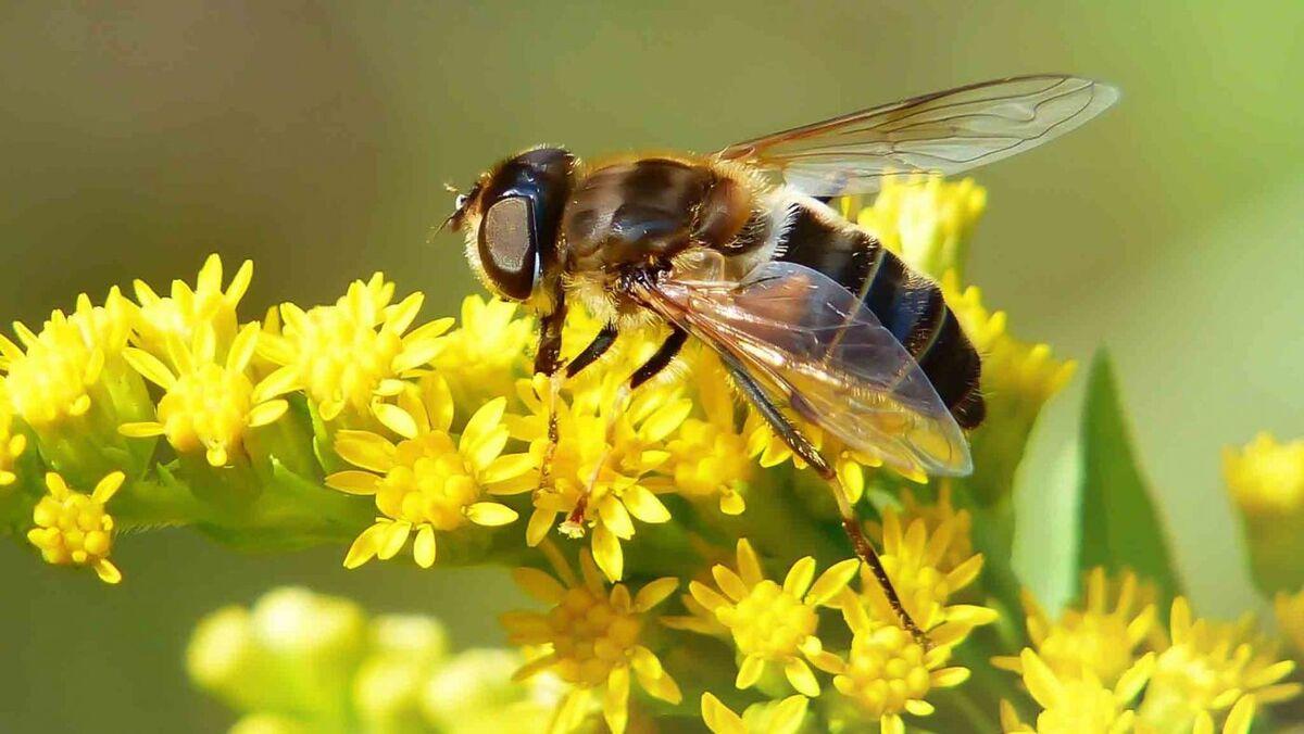 زنبورهای براکون و تریکوگراما در مزارع گوجه فرنگی قزوین رهاسازی شدند