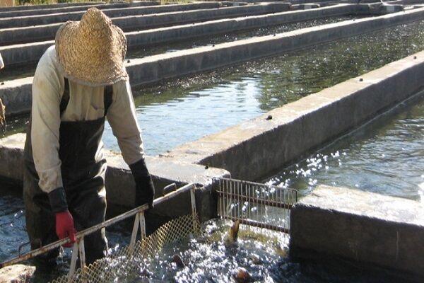 رونق پرورش ماهی در کویر/ تولید ۸۲۶ تن ماهی در خراسان جنوبی