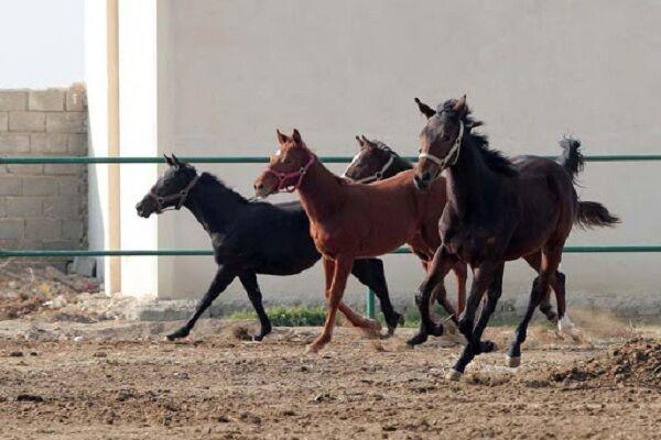 متقاضیان پرورش اسب در لرستان حمایت میشوند