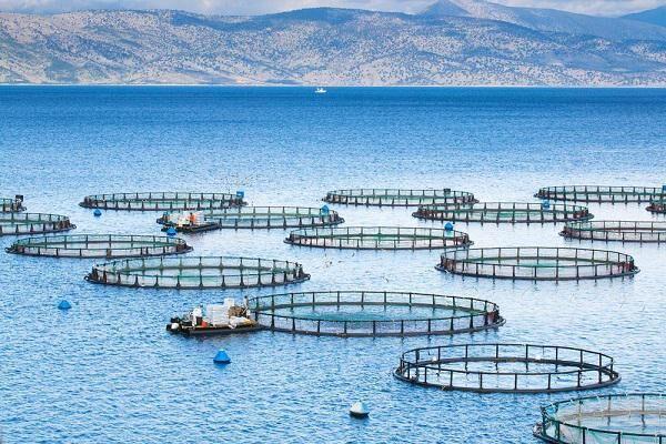 تولید ماهی در قفس استان بوشهر به ۶۰ هزار تن میرسد
