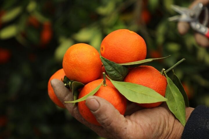 مبارزه با آفات محصولات باغی را اقتصادی میکند