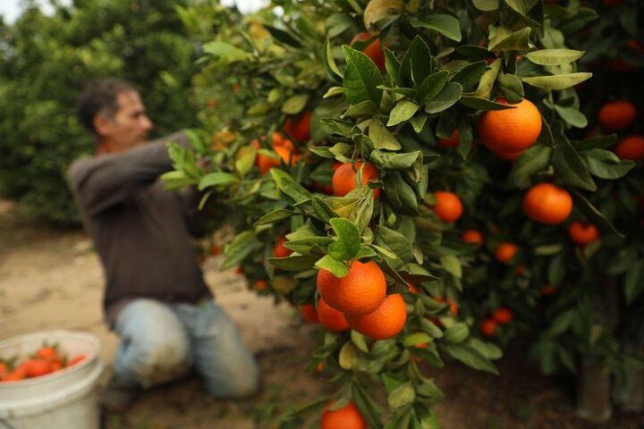 زمان برداشت و صادرات مرکبات در مازندران اعلام شد
