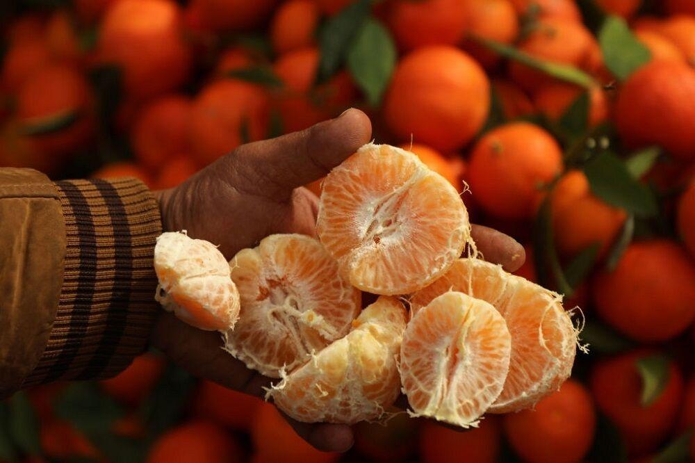 ۱۶۹ هزار تن مرکبات از مازندران صادر شد