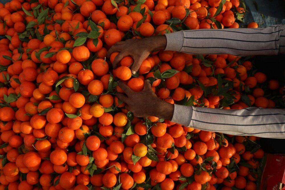 مرکبات مازندران؛ تولید جهانی با بازارهای محلی| خیز برای صادرات ۵۰۰ هزار تنی