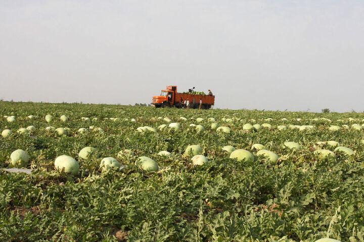 پیش بینی برداشت ۲۱۰ هزار تن هندوانه برای شب یلدا