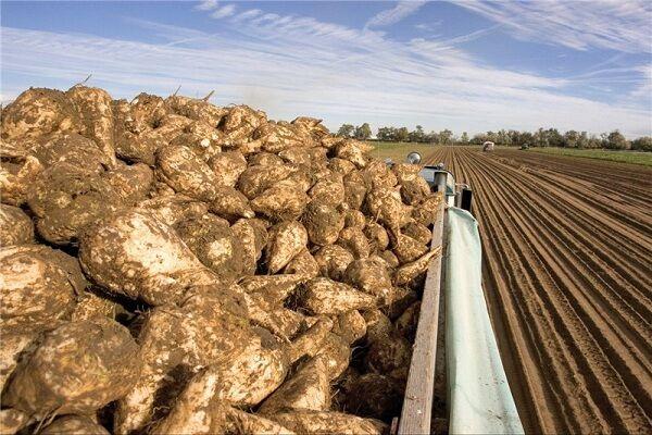 برداشت ۵۰ هزار تن چغندر قند در مناطق گرمسیری کرمانشاه