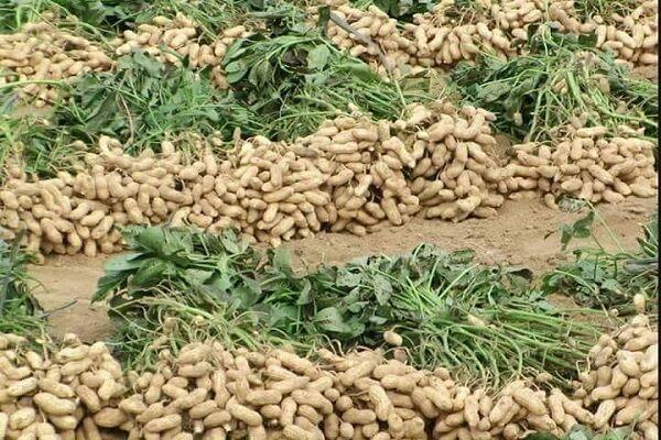 بادام زمینی جایگزین کشت های آب بَر/لزوم توسعه سطح زیر کشت