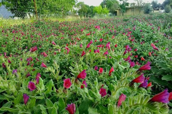 ۳۲۵ تن انواع گیاهان داروئی در زنجان برداشت شد