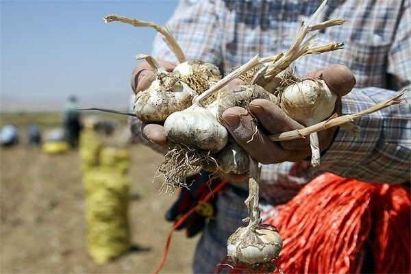 سیر شهداد در مزرعه ارزان و در بازار گران؛ کرونا ترمز صادرات را کشید