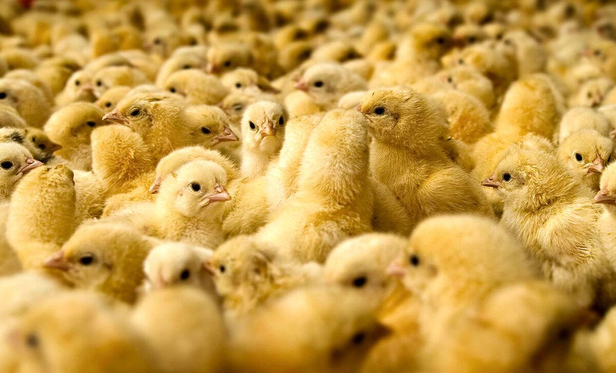 جوجهریزی در مرغداریهای قزوین بیش از یک میلیون قطعه افزایش یافت
