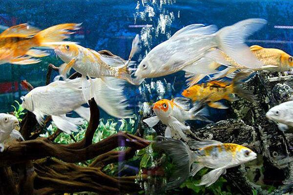 توسعه پرورش ماهی زینتی در چهارمحال و بختیاری مورد توجه قرار میگیرد