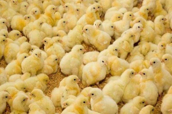 صادرات جوجه یک روزه از خراسان جنوبی بلا مانع است